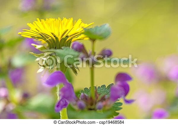 fleur, pissenlit - csp19468584