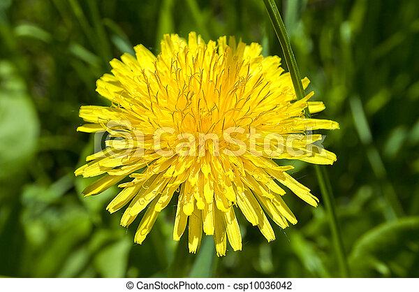 fleur, pissenlit - csp10036042