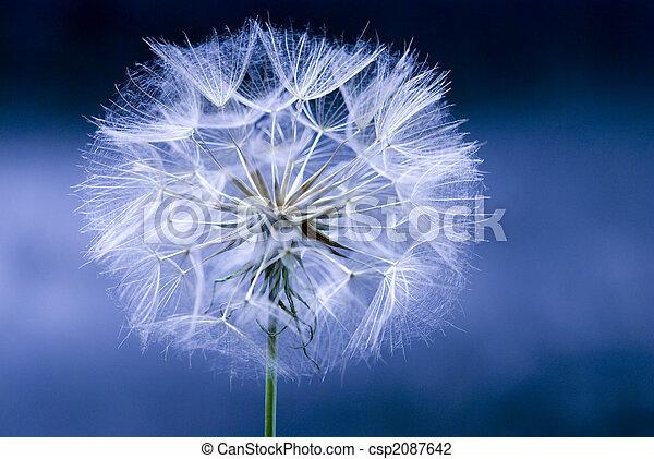 fleur, pissenlit - csp2087642