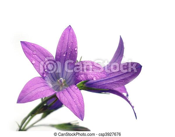 fleur pourpre - csp3927676