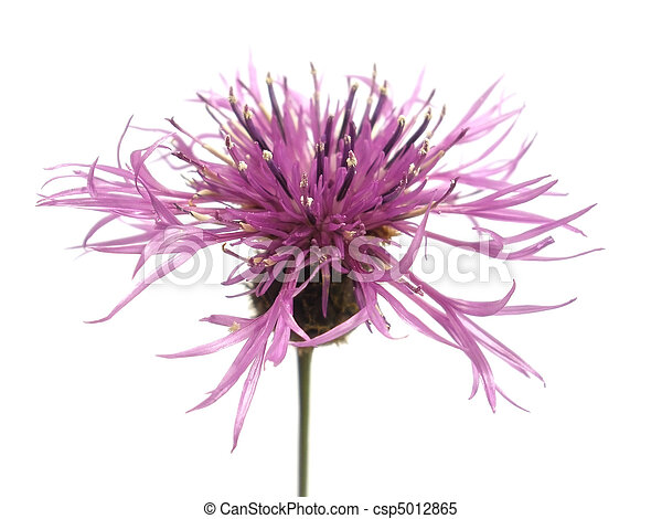 fleur pourpre - csp5012865