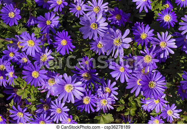 fleur pourpre - csp36278189