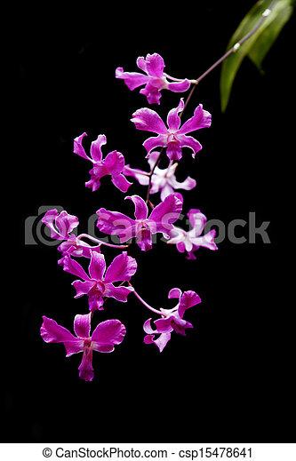 fleur, pourpre, isolé, arrière-plan., noir, orchidée - csp15478641