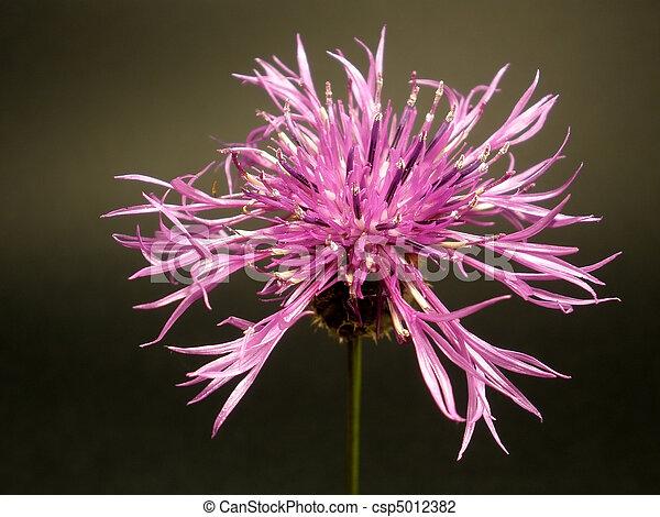 fleur pourpre - csp5012382