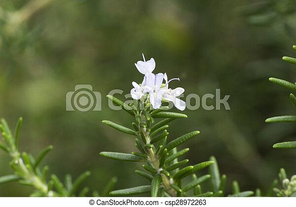 Fleur Romarin Jardin Ete Fleur Blanche Romarin Jardin
