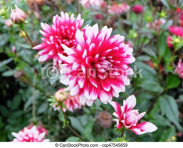Fleur Rose Colore Tres Dahlias Blanc Autre Clair Dahlia Magenta Dalia Jardin
