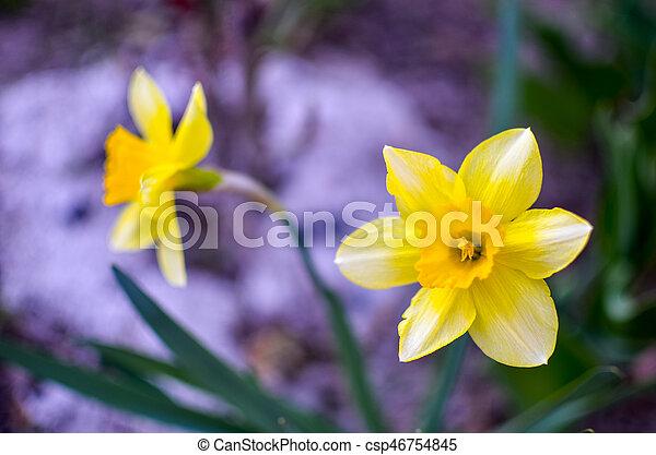 fleur source jonquille jaune csp46754845 - Fleur Jonquille