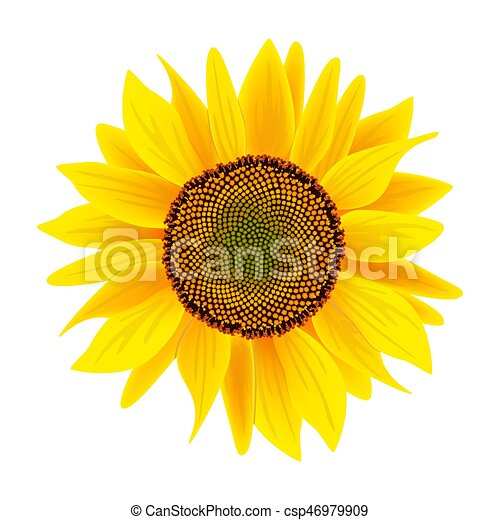 Fleur Tournesol Isole Helianthus Fond Blanc Ou Cuisine