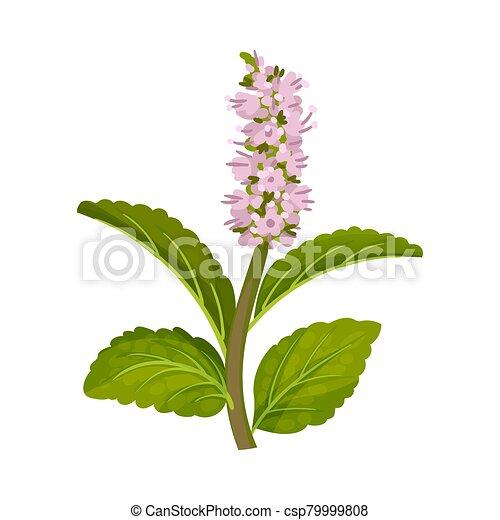 Fleur Vecteur Illustration Feuilles Frais Vert Menthe Floraison Fleur Vecteur Aromate Concept Floraison Feuilles Canstock
