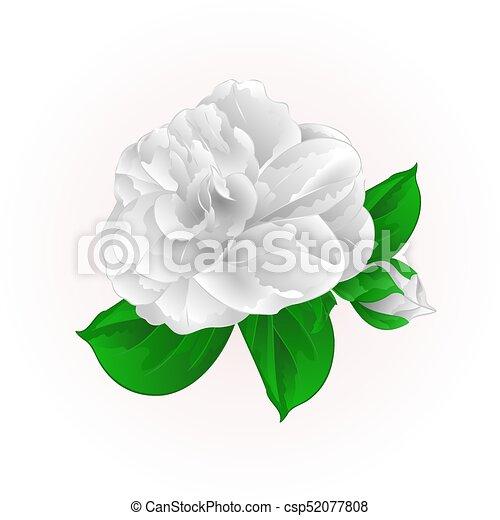 Fleur Vendange Camelia Vector Eps Blanc Japonica Bourgeon