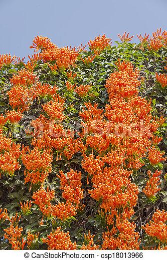 fleur vigne fire cracker flamme trompette orange. Black Bedroom Furniture Sets. Home Design Ideas