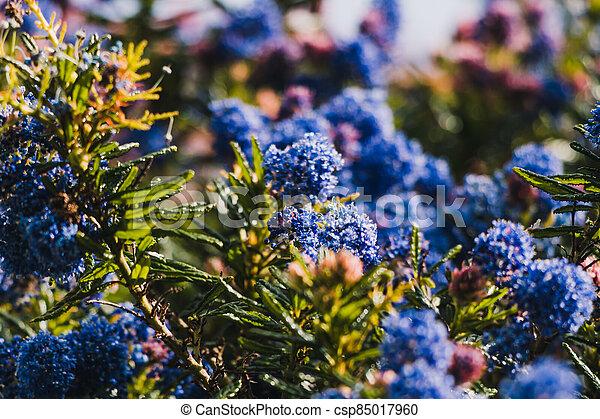 fleurs, arrière-cour, bleu, ceanothus, pacifique, arbre, ensoleillé, extérieur - csp85017960