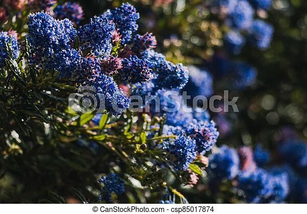 fleurs, arrière-cour, bleu, ceanothus, pacifique, arbre, ensoleillé, extérieur - csp85017874
