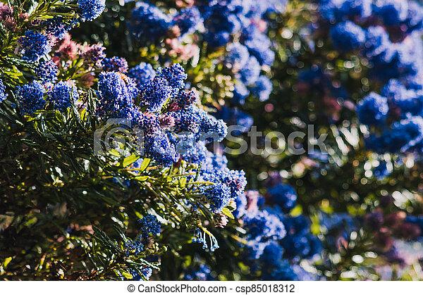 fleurs, arrière-cour, bleu, ceanothus, pacifique, arbre, ensoleillé, extérieur - csp85018312