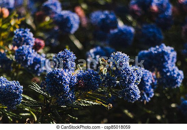 fleurs, arrière-cour, bleu, ceanothus, pacifique, arbre, ensoleillé, extérieur - csp85018059