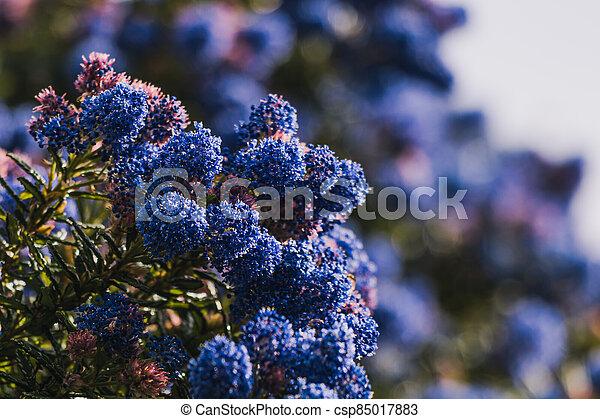 fleurs, arrière-cour, bleu, ceanothus, pacifique, arbre, ensoleillé, extérieur - csp85017883