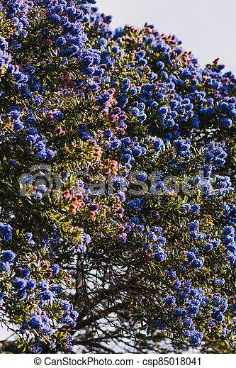 fleurs, arrière-cour, bleu, ceanothus, pacifique, arbre, ensoleillé, extérieur - csp85018041