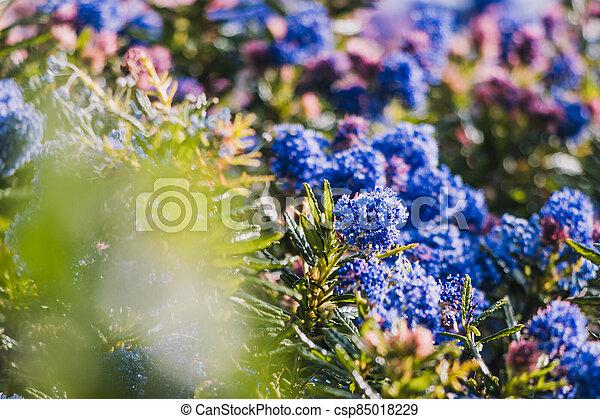 fleurs, arrière-cour, bleu, ceanothus, pacifique, arbre, ensoleillé, extérieur - csp85018229