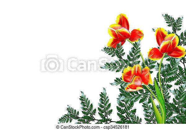fleurs, arrière-plan., isolé, tulipes, printemps, blanc - csp34526181