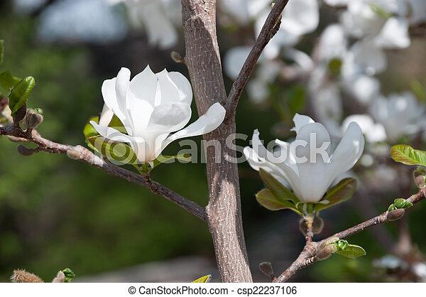 Fleurs Blanches Magnolia Arbre Magnolia Fleurs Blanc Closeup