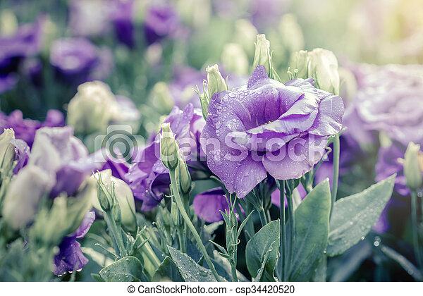 fleurs, bouquet, lisianthus, violet - csp34420520