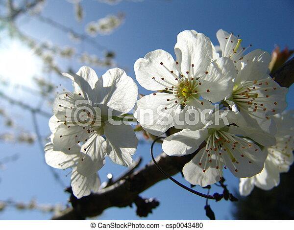 fleurs cerise - csp0043480