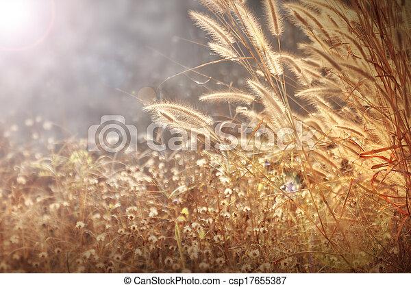 fleurs, herbe hypertrophie terminale, fond, doré, lumière, mauvaise herbe, matin - csp17655387