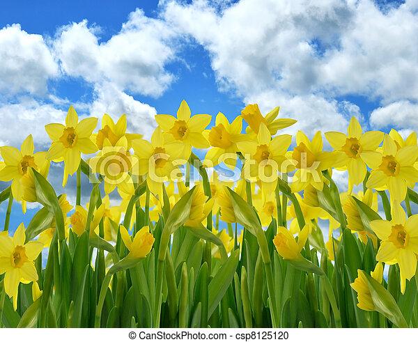 Fleurs Jaune Jonquille Bleu Jonquille Ciel Contre Champ