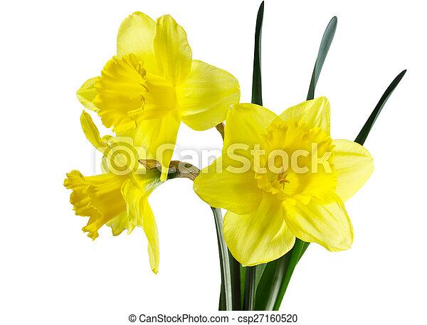 fleurs jonquille csp27160520 - Fleur Jonquille