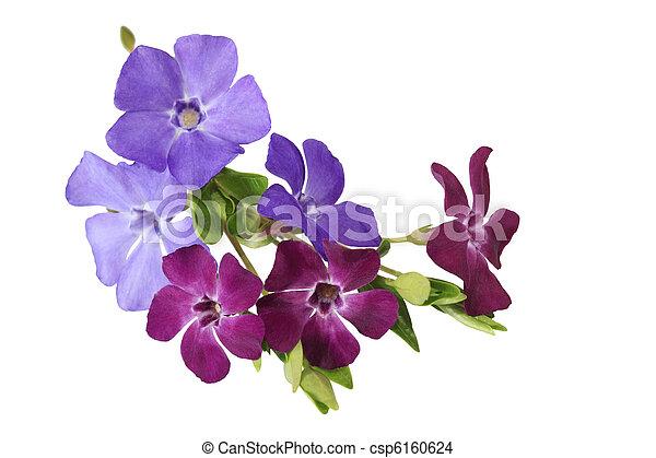 fleurs, myrte, vinca - csp6160624