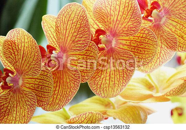 orchidee vanda orange