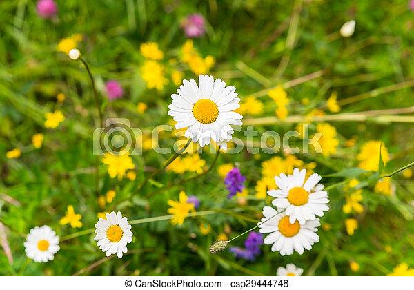 fleurs, pâquerettes, champ - csp29444748