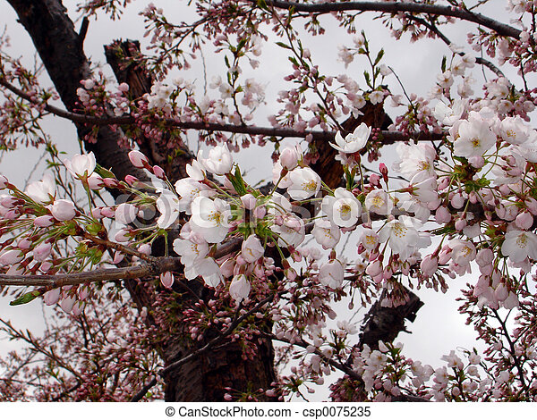 fleurs prune - csp0075235