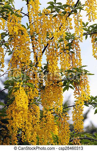 fleurs ressort arbre laburnum jaune beau printemps arbre fleurs jaunes laburnum. Black Bedroom Furniture Sets. Home Design Ideas