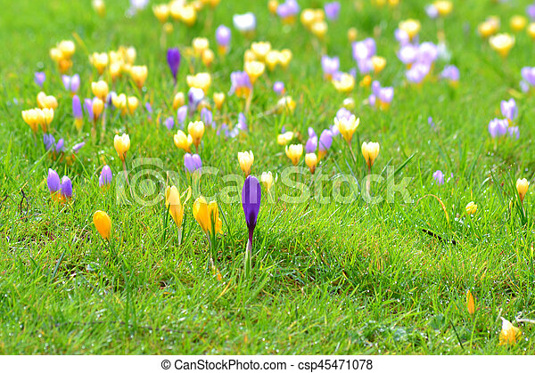 fleurs ressort, -, colchique - csp45471078