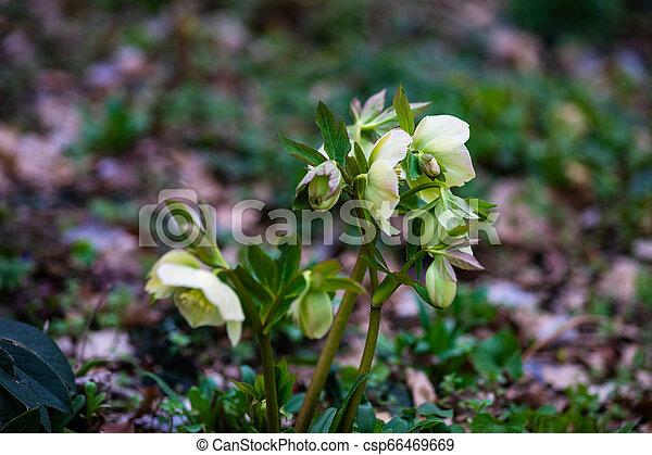 fleurs ressort, premier - csp66469669