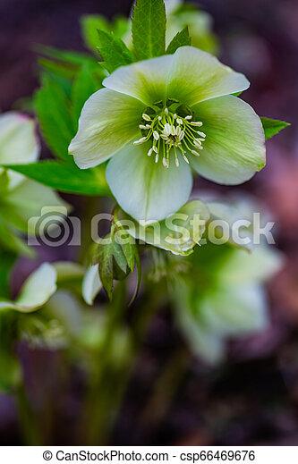 fleurs ressort, premier - csp66469676