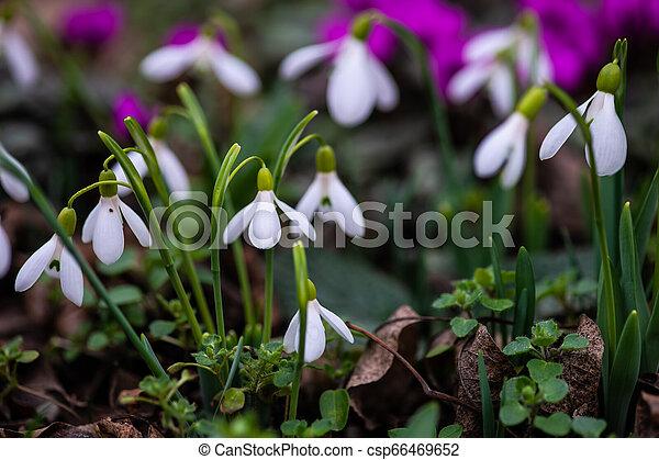 fleurs ressort, premier - csp66469652