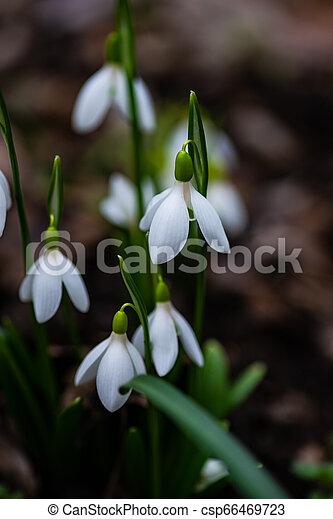 fleurs ressort, premier - csp66469723