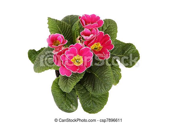 fleurs, rose, isolé, blanc - csp7896611