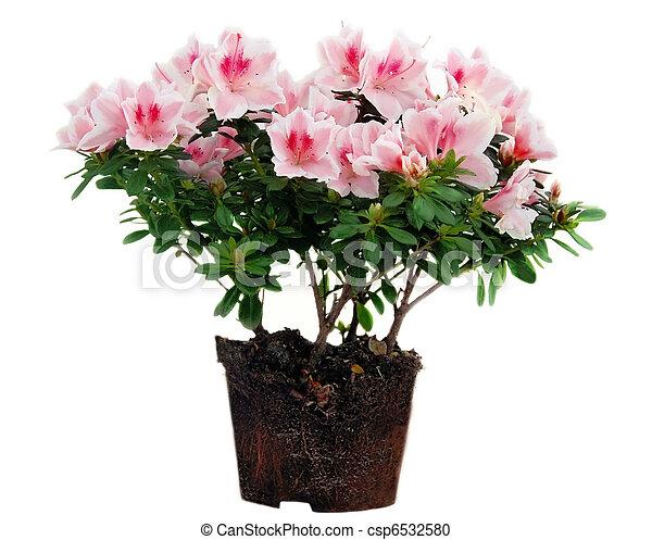 fleurs roses azal e pot fleurs rose sur isol fond. Black Bedroom Furniture Sets. Home Design Ideas