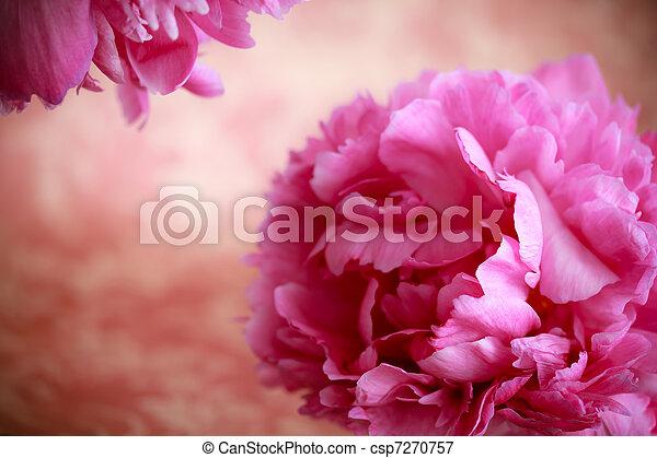 fleurs roses, pivoine - csp7270757