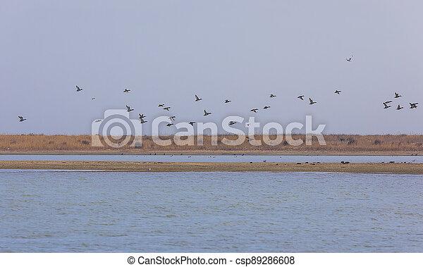 Flock of ducks flying over the lake - csp89286608