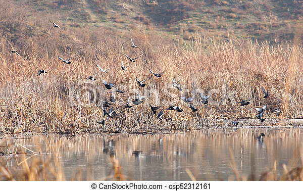 flock of pigeons on the lake - csp52312161