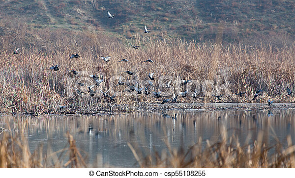 flock of pigeons on the lake - csp55108255