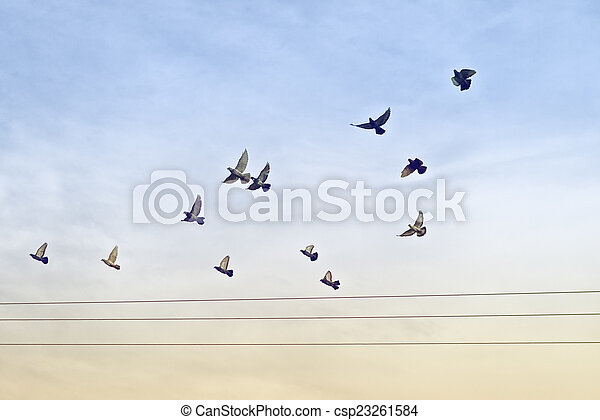 Flock of Pigeons over Power Wires - csp23261584