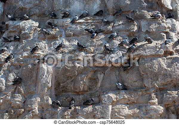 Flock  of pigeons sitting on the rocks of a wall in the street - csp75648025