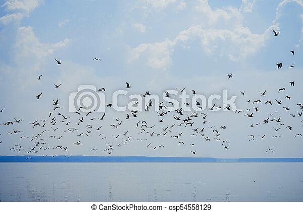 flock of seagulls in sky flying over water - csp54558129