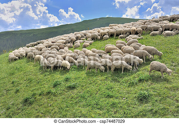 flock of sheep grazing in alpine mountain - csp74487029