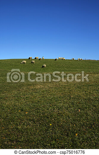 flock of sheep grazing in the meadow - csp75016776
